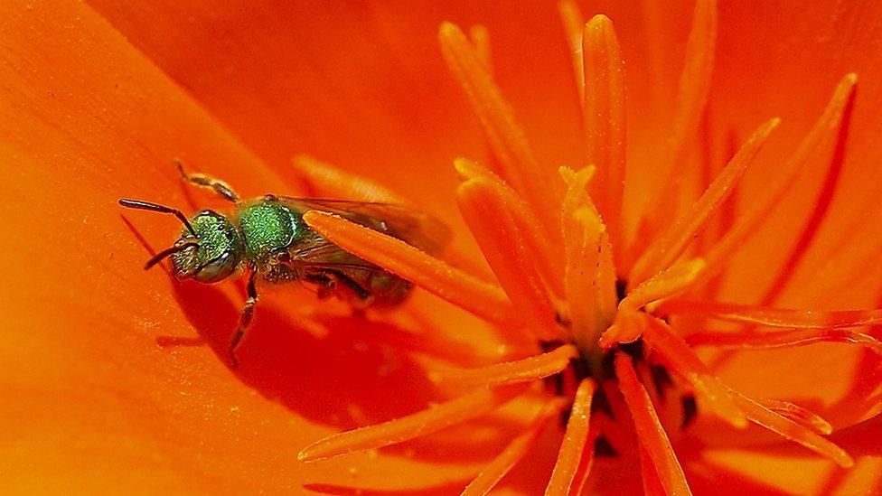 znojna pčela