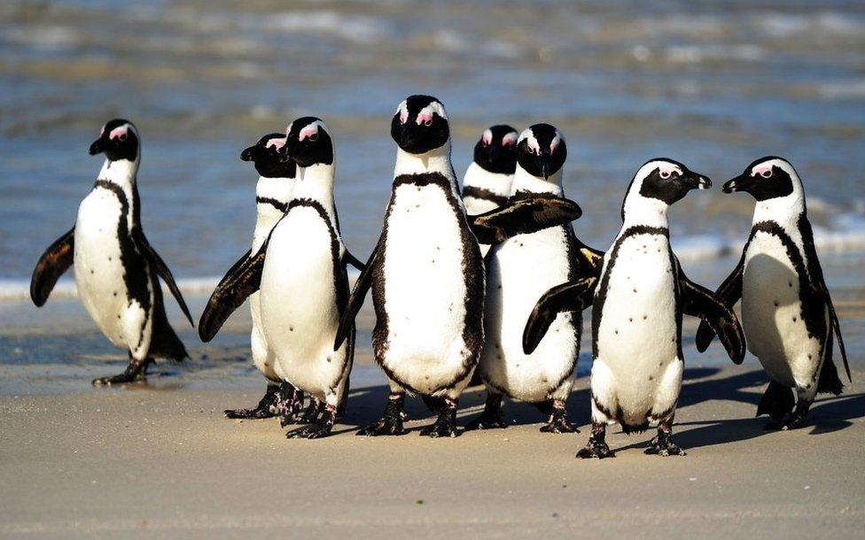južnoafrički pingvin