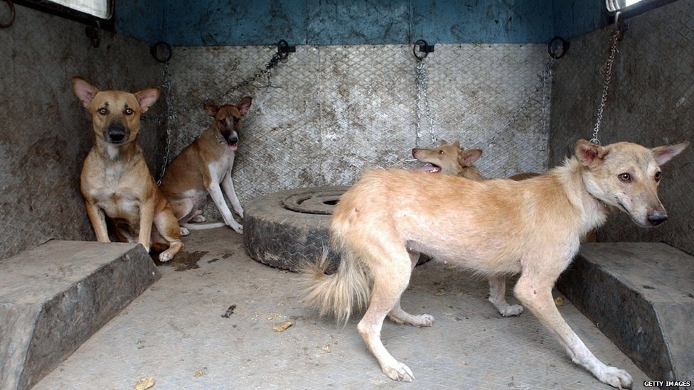 This photo taken 19 June 2003, shows captured stray dogs during a sterilization and anti-rabies vaccination operation in New Delhi.