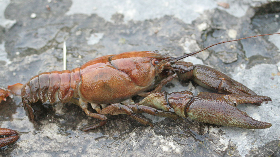 Lincolnshire conservationists help native crayfish comeback