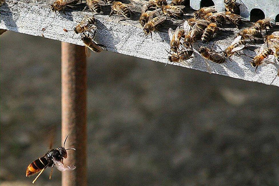 Asian hornet near bee hive