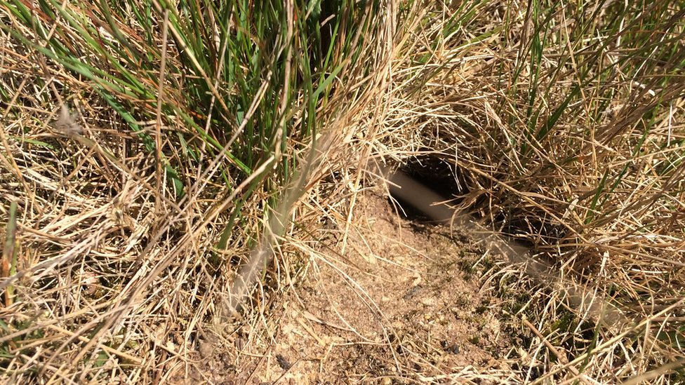 A burrow for a field cricket