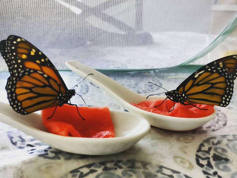 Leptiri jedu voće