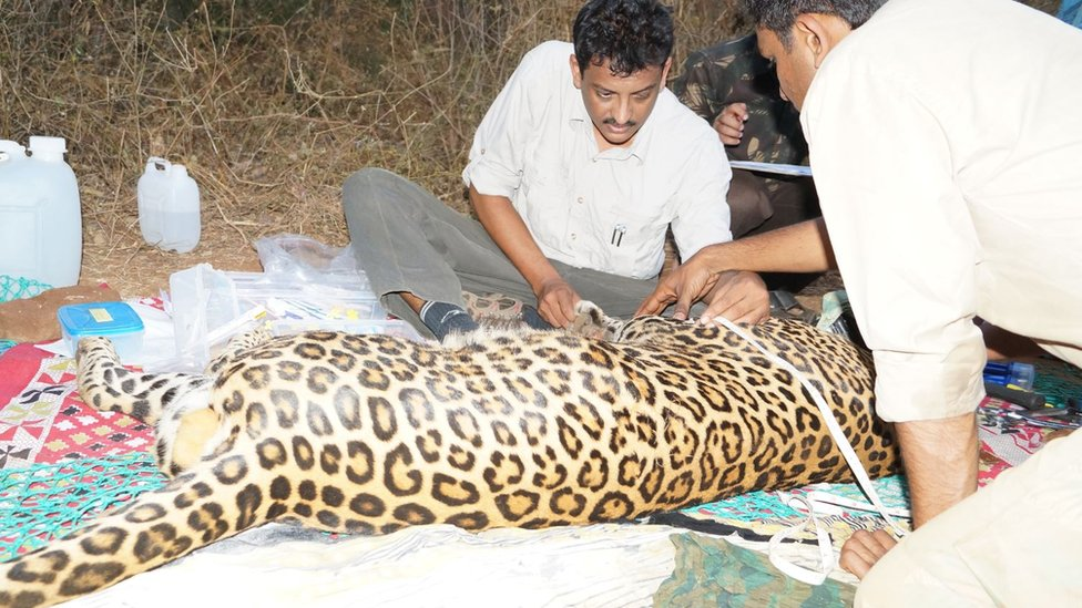 Sanajay Gabbi says he has tracked and radio collared over 100 leopards
