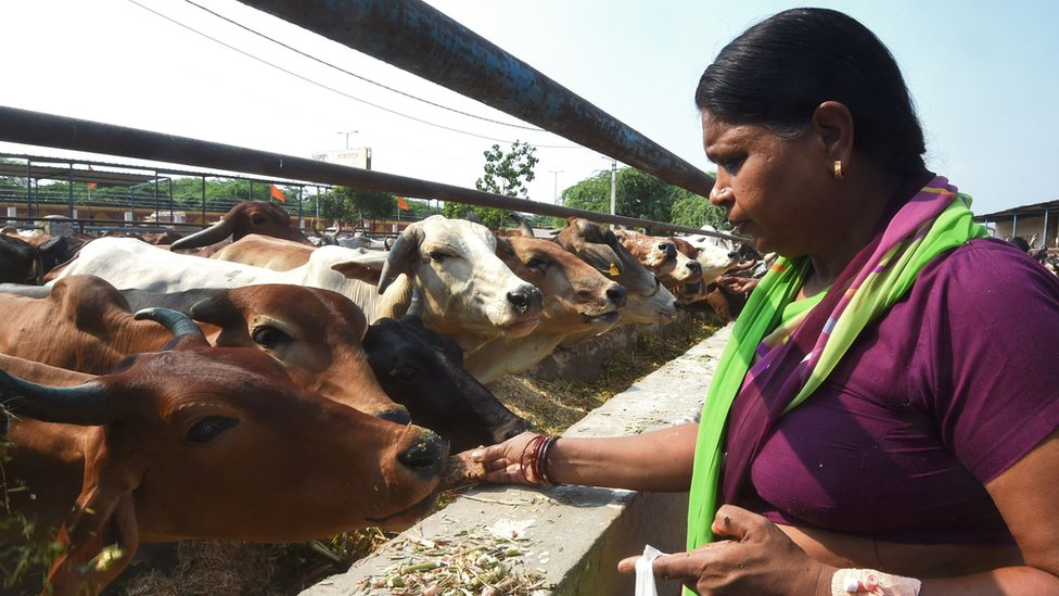 India cows