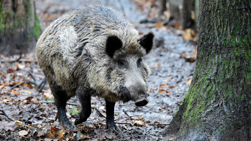 Penzioner u Berlinu uhvaćen kako lovi divlju svinju sekirom