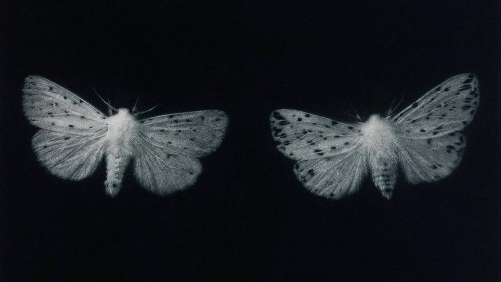 Ermine moths