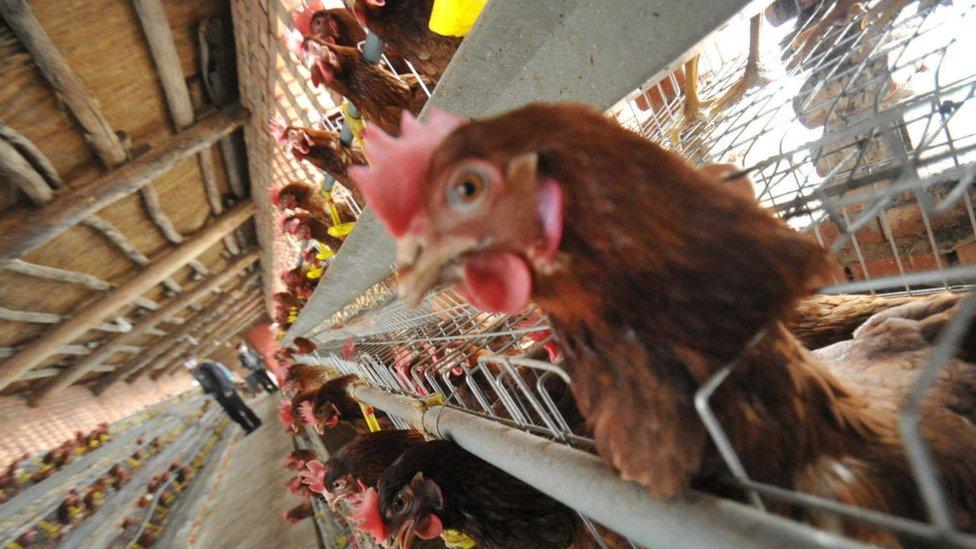 Pollos en jaulas, China
