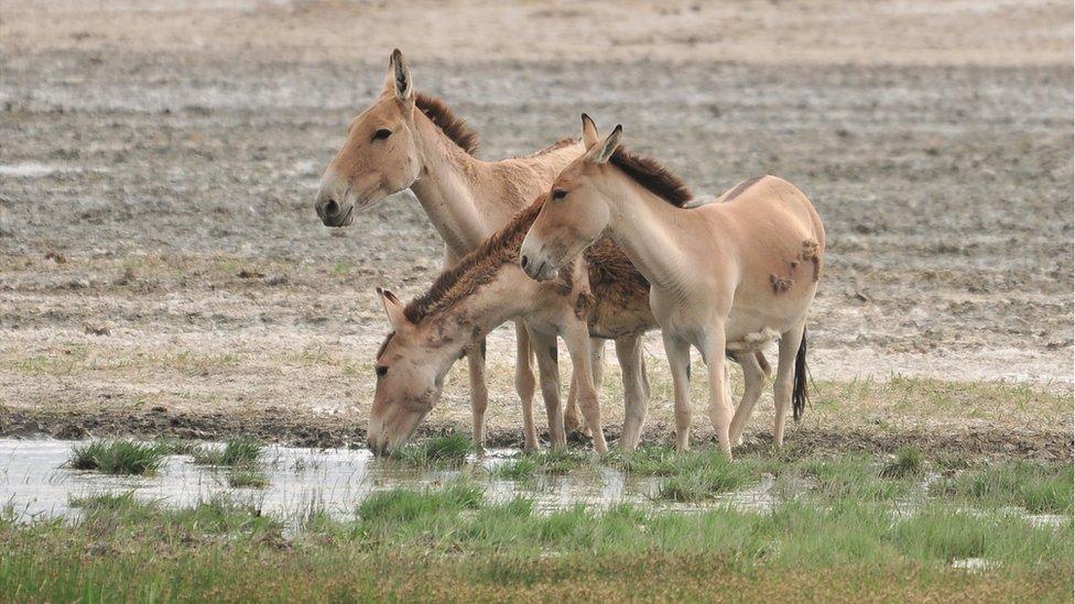 Khulan_at_water - photo of kulans.