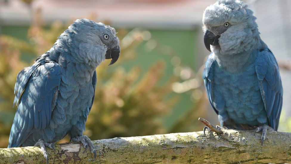 The spix macaw is believed extinct in the wild due mainly to deforestation