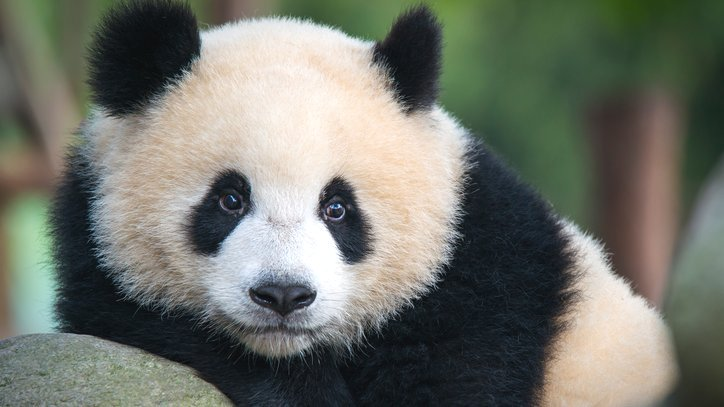 Giant pandas can tell a mate from their calls