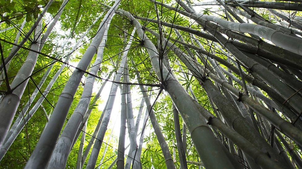 Plantación de bambú.