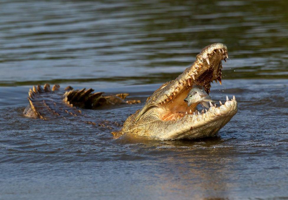 تمساح يصيد سمكة