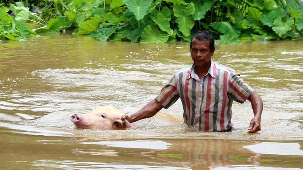 A pig that was swept away in the floods is rescued by a local resident at Varapuzha