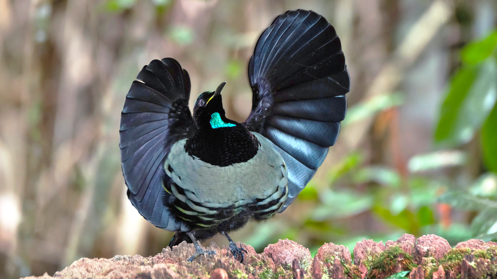 Male Victoria's riflebird displaying (c) Science Photo Library