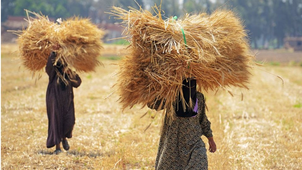Egyptian workers harvest wheat in the village of Shamma in the Egyptian Nile Delta province of al-Minufiyah, on May 6, 2017