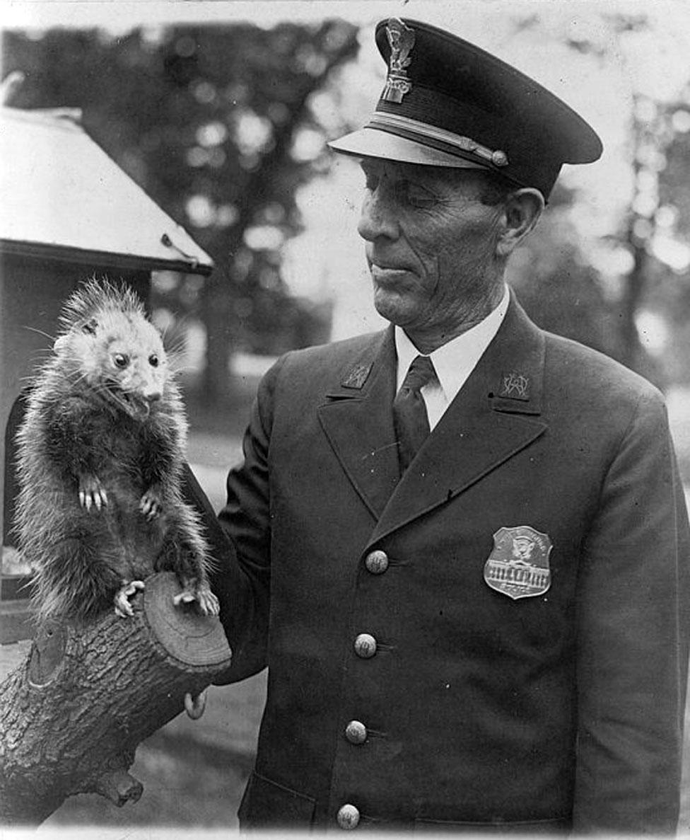 شرطي يحمل حيوان الأبوسوم البري من مؤخرة العنق.