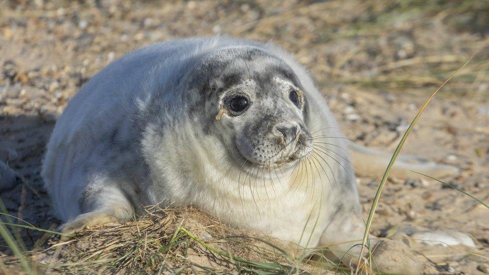 Blakeney Point grey seal pup births break record
