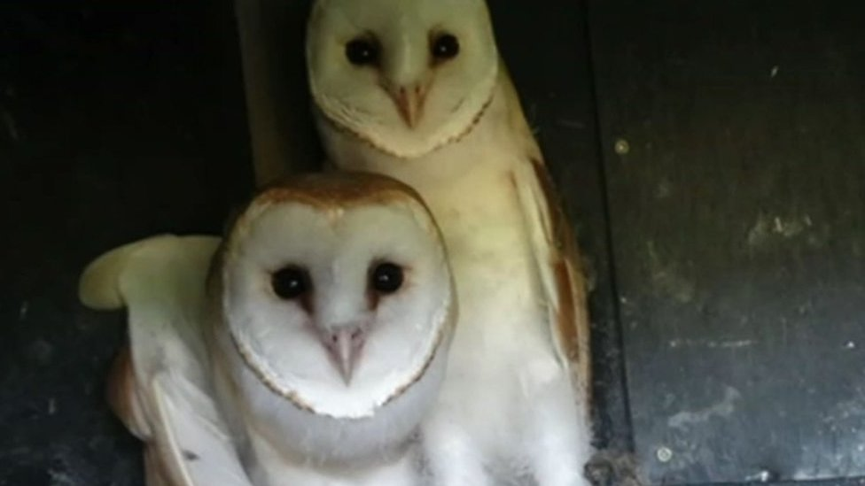 Nesting boxes boost Staffordshire barn owl population