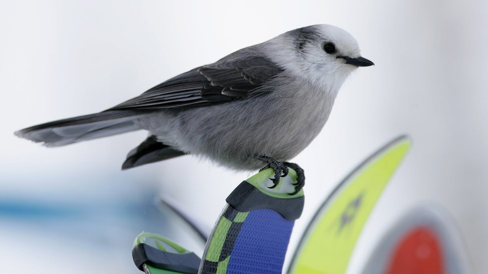 A Gray Jay, commonly known as a Camp Robber, sits on the tips of skis on the course while hoping to find a course workers to snack during the FIS Alpine World Cup Men's Giant Slalom on Birds of Prey at Beaver Creek December 2, 2006 in Avon, Colorado.