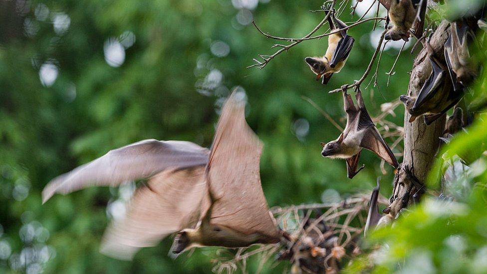 Kelelawar bermigrasi di Zambia