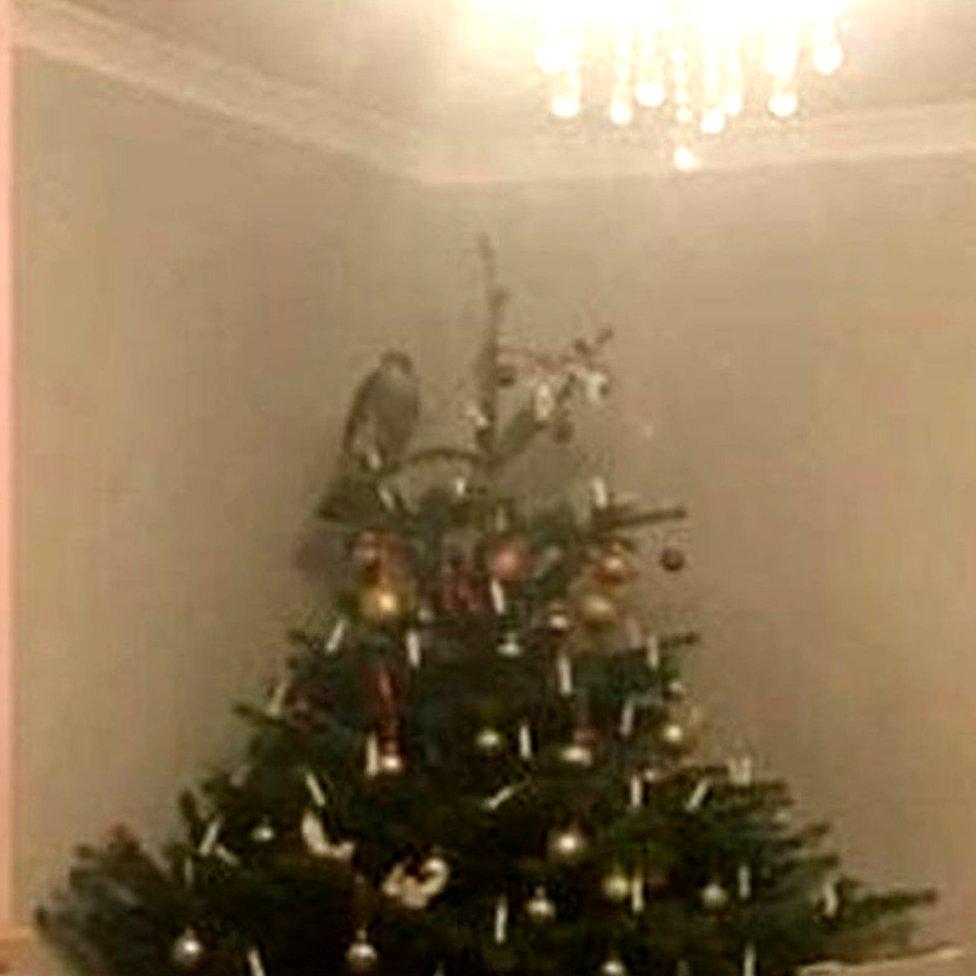 Sparrowhawk in Christmas tree