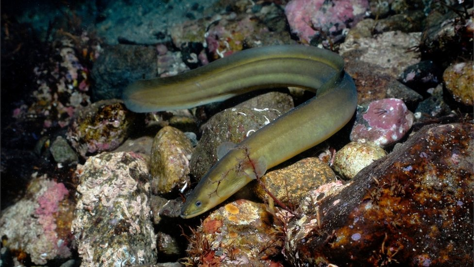 European eel: Schools in bid to save endangered fish