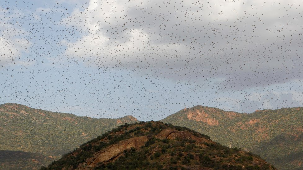 Swarms of locusts fly over mountains in Kenya, January 2020