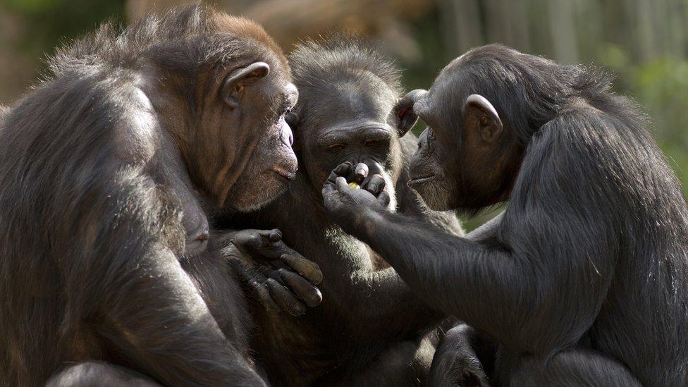 Si miras de cerca, hay varias similitudes entre algunos simios y humanos.