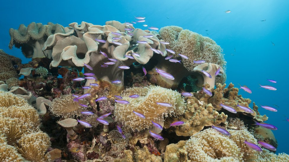 Leather coral in the Great Barrier Reef