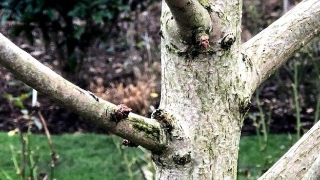 英國的銀杏樹
