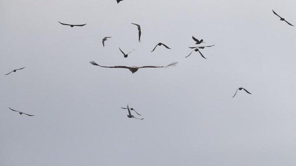 bearded vulture in Norfolk