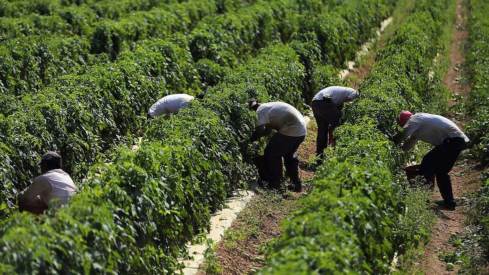Recolectores de tomates en Florida, Estados Unidos