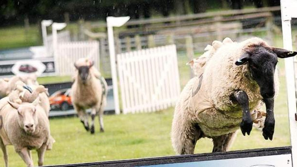 Hoo Farm sheep racing returns after animal rights petition