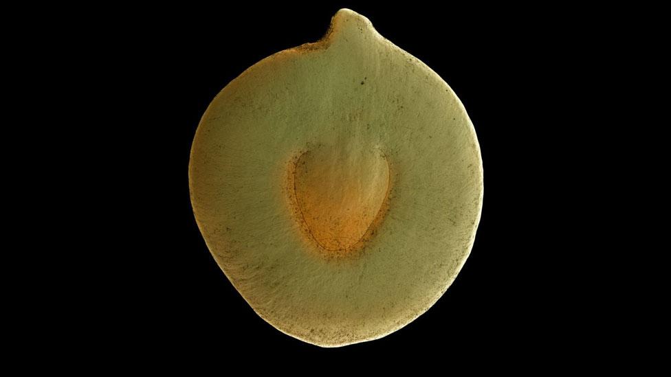 Semilla de Senegalia senegal