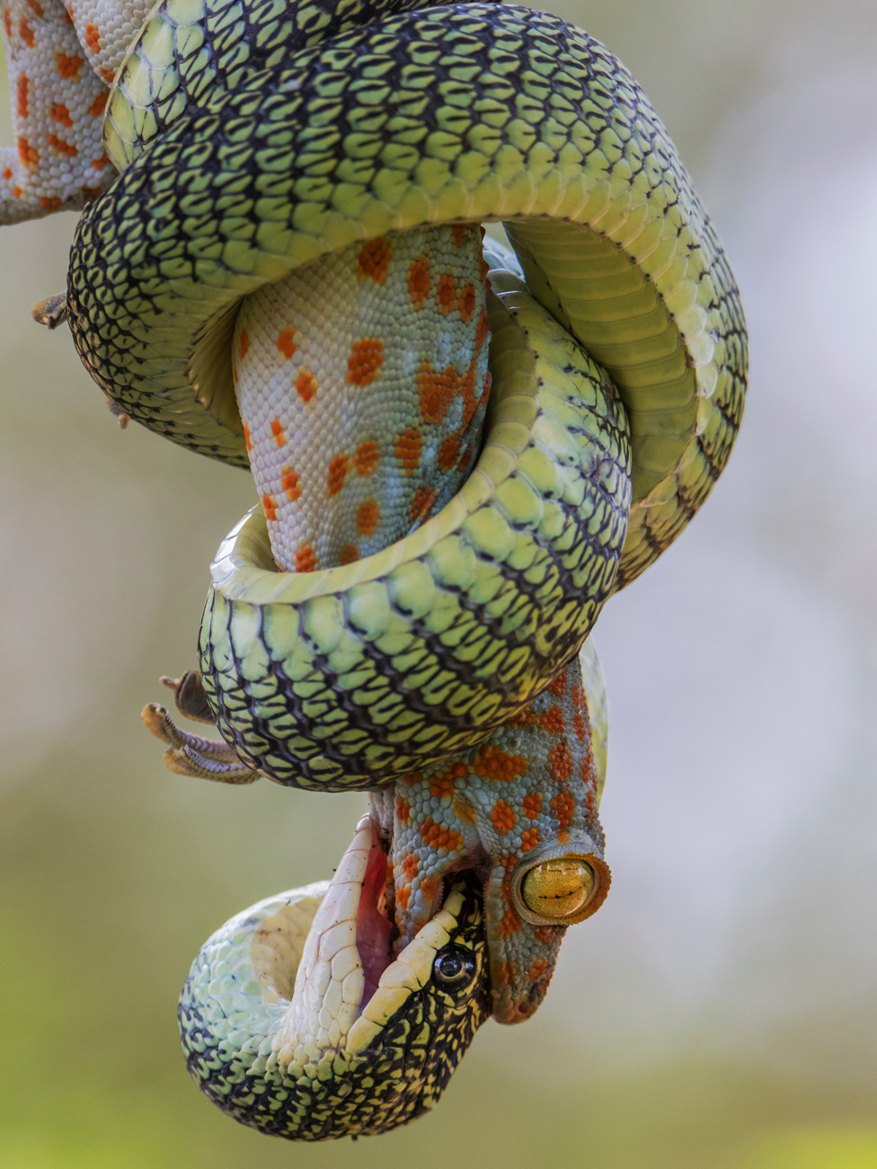 Tokajski gekon grize i napada uprkos tome što ga je obmotala takozvana leteća zmija