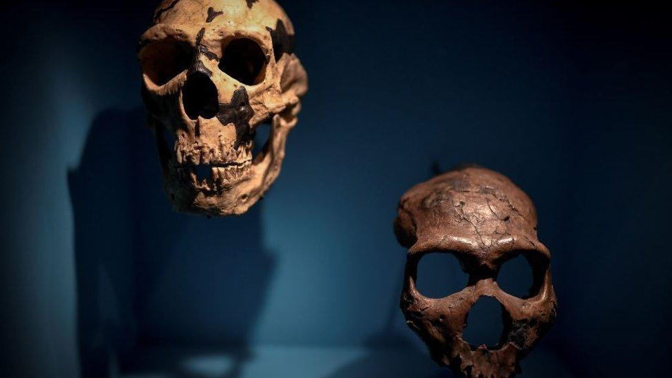 Exhibición de cráneos homínidos en París, Francia.