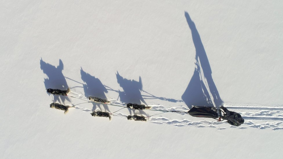 Siberian Husky dogs of the Royev Ruchey Park team