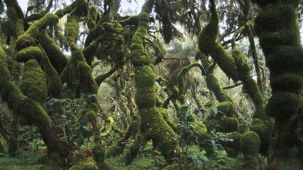 غابة كثيفة في إثيوبيا