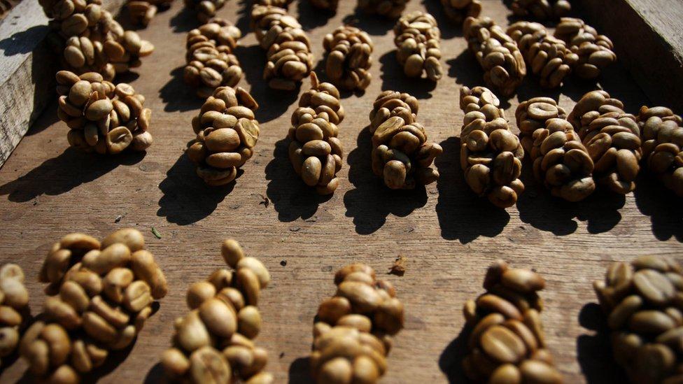 Las heces de los gatos civetas de palma se transforman en uno de los cafés más caros del mundo.