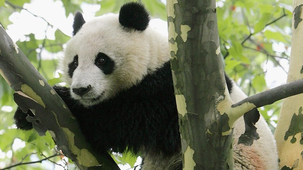 A wild giant panda is seen in a tree near a residential area in China's Sichuan province