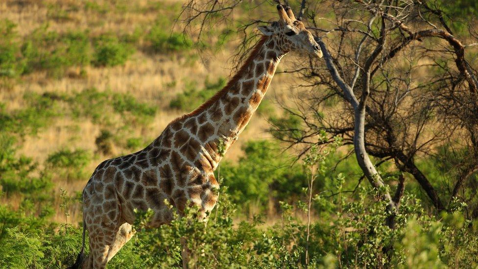 A giraffe stands in long grass beside a tree