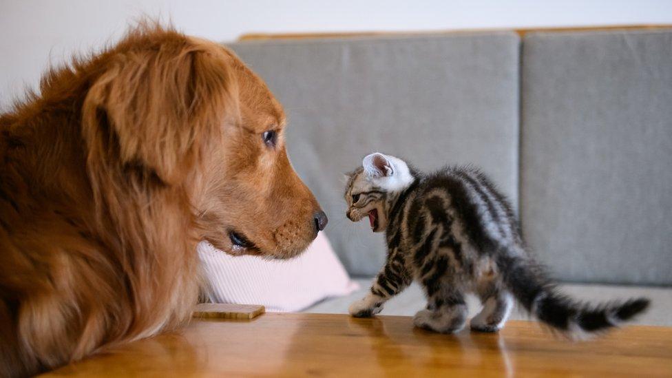 Kediler gibi bazı hayvanlar kendilerini daha büyük göstermek için kabarıyor.
