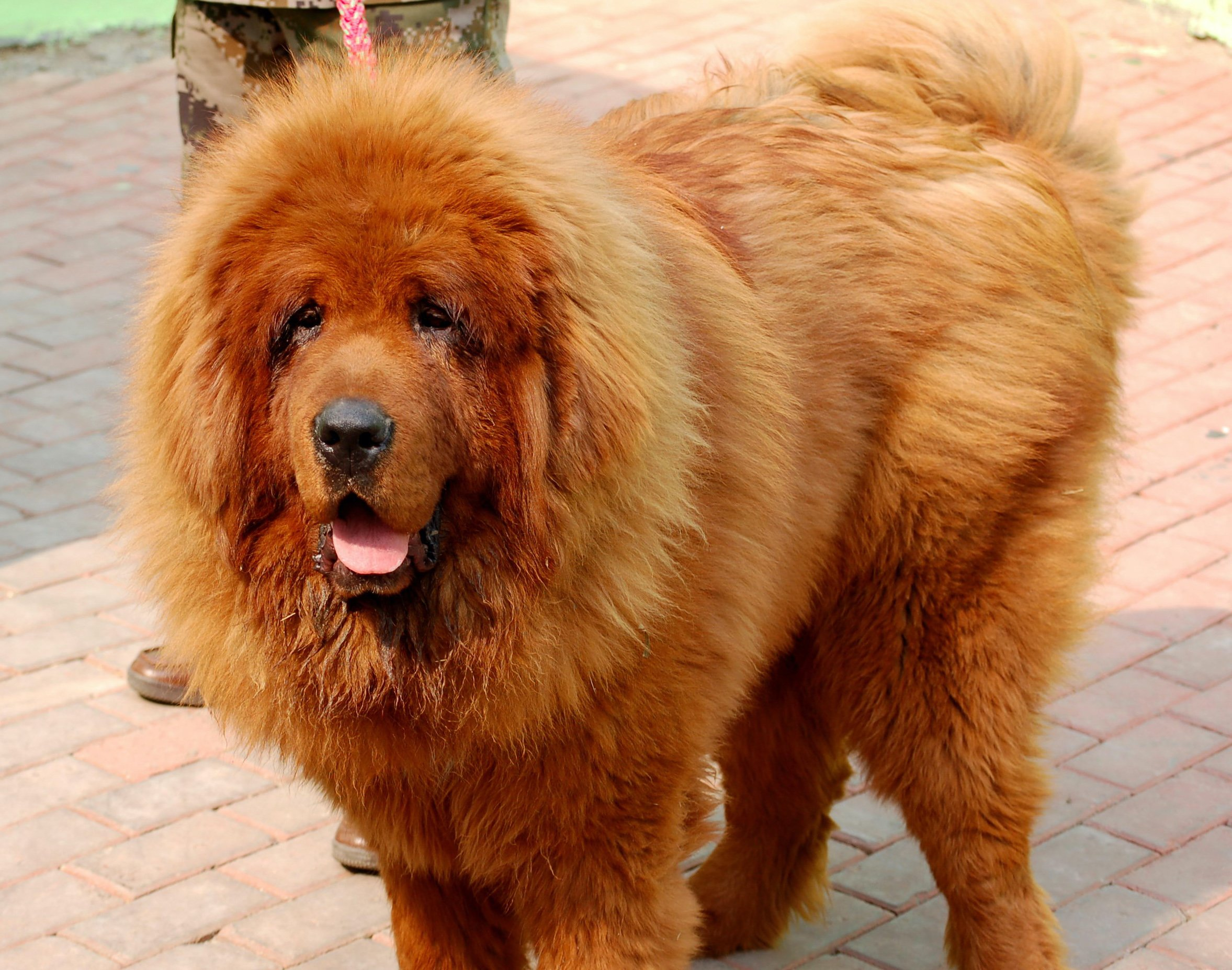 A Tibetan mastiff called Big Splash