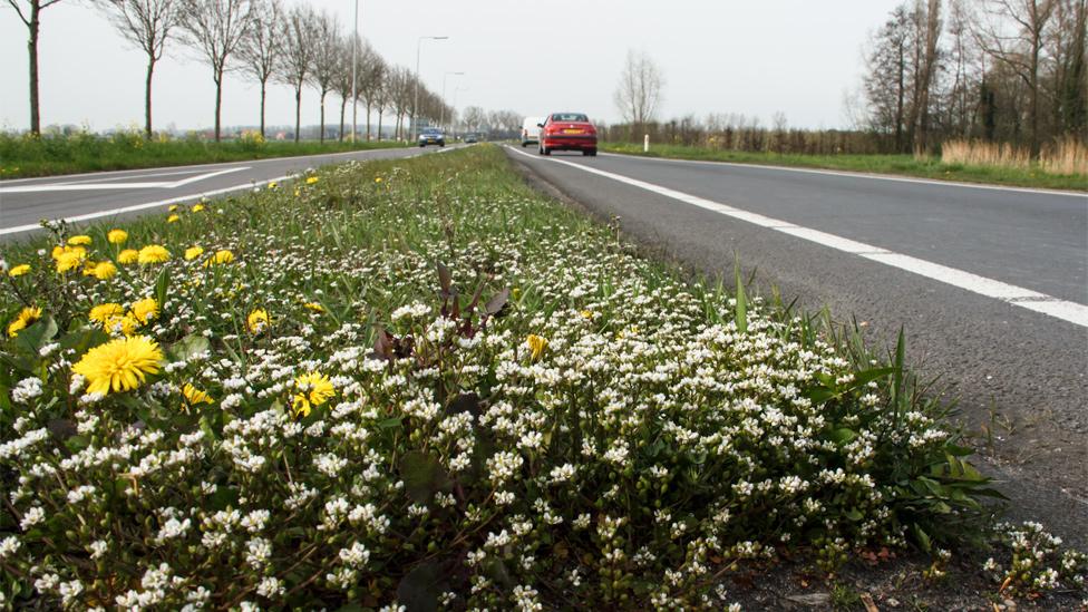 Hierba de las cucarachas creciendo en franjas a lo largo de una carretera