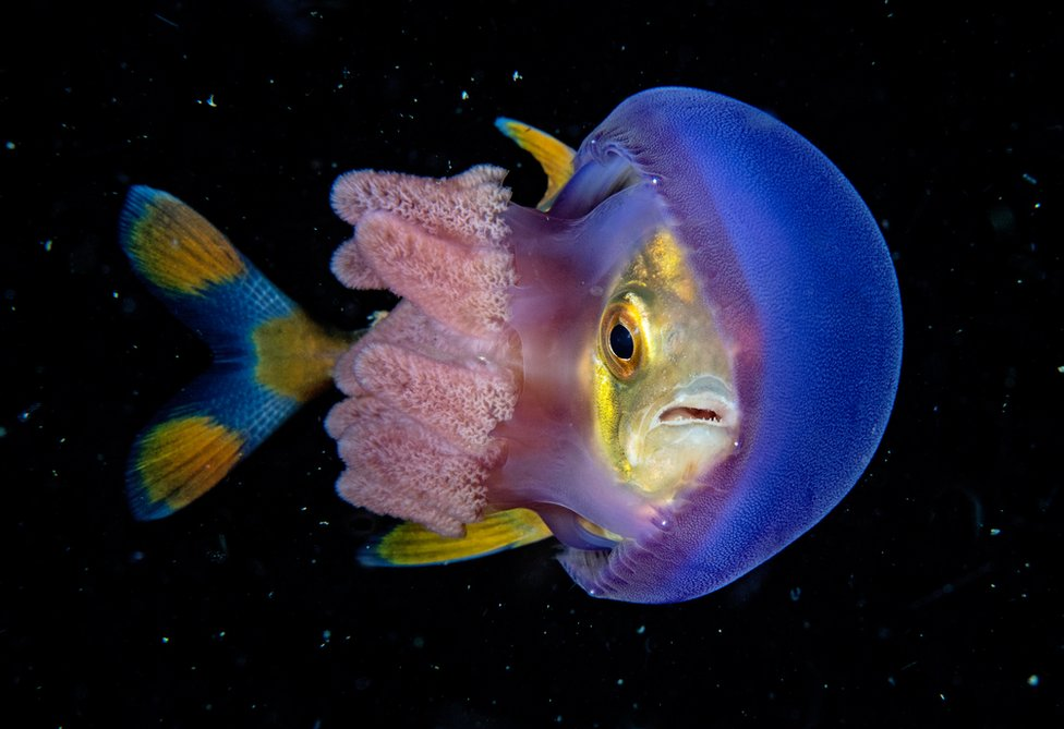A fish wedged between the bell and the tentacles of a jellyfish.