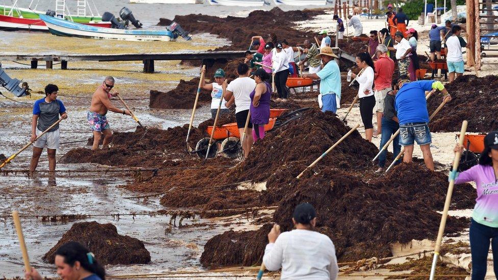 Recolección de sargazo en Puerto Morelos