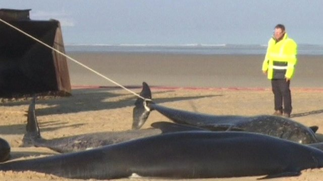 Beached whales, one being dragged away by a digger