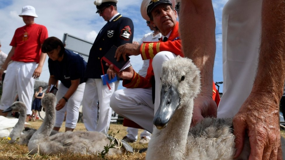 Officials record and examine cygnets and swans during the annual census
