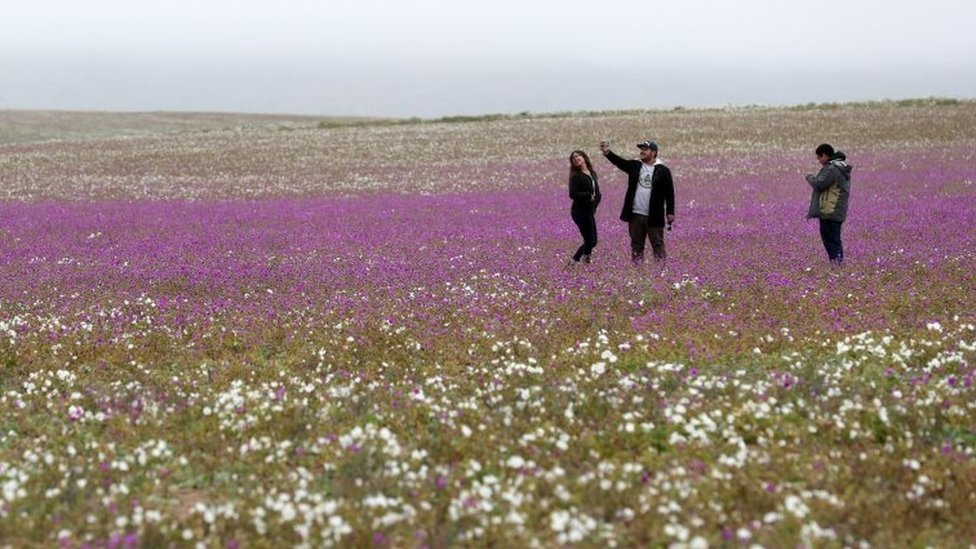 People take pictures of the flowers in the Atacama Desert, Chile, 22 August 2017.